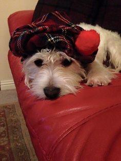 Tam O' Shanter Teddy! Tam O' Shanter, Scotland Tours, Scottish Terrier, Dogs, Animals, Image, Scottish Terriers, Animales, Animaux