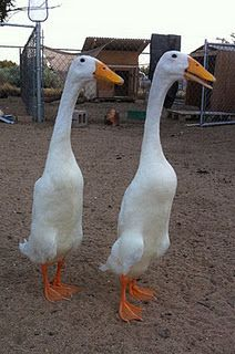 Indian Runner ducks. Pros: flightless, quiet, eat less grain and pellet and more snails. Cons: perpetual Easter egg hunt for the eggs if you let them roam the whole yard.