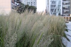The High Line in NYC Plant of the Week: Korean Feather Reed Grass | The High Line Blog (Calamagrostis brachytricha)