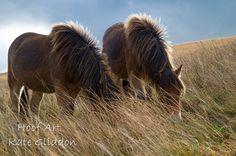 Exmoor ponies Withypool Exmoor National Park