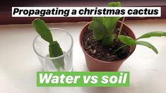 Propagating Christmas cactus water vs soil with updates Succulent Soil, Cacti And Succulents, Cactus Plants, Christmas Cactus Plant, Easter Cactus, Cactus Leaves, Cactus Flower, Cactus Water, Water Plants