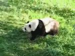 gif of a panda rolling down a hill. (GIF)