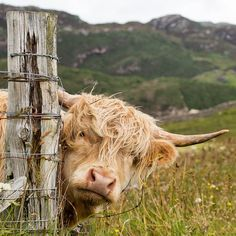 A Fun and Funny Farm Animals Song and Video from ELF Learning for kids. Cute Baby Cow, Baby Cows, Cute Cows, Cute Baby Animals, Animals And Pets, Funny Animals, Baby Elephants, Wild Animals, Scottish Highland Cow