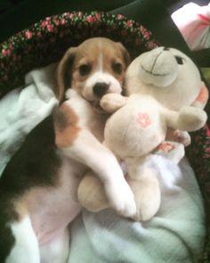 Sweet baby #beagle Dog Training Methods, Basic Dog Training, Dog Training Techniques, Training Dogs, Cute Beagles, Cute Puppies, Cute Dogs, Dogs And Puppies, Puppy Obedience Training