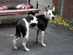 SAFE !  11/11/13 Manhattan Center BRODY a/k/a PHANTOM. #A0943633 (Alternate A#: A0983621) NEUTERED MALE  BLACK & WHITE PIT BULL MIX 2 YRS *** RETURNED AS A STRAY 10/30/13 *Brody was found stuck to a fence, a heavy chain hanging from his neck. Quite nervous during behavior exam. Walks well on leash, a bit skittish and hand shy . I doubt Brody had a very happy life before coming to the facility. It is about time that he knows life as a pet, cared for and loved by a forever master.
