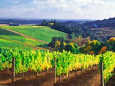 Painting of Willamette Valley Vineyard - Dundee, Oregon -  Willamette Valley Grapes - Yamhill County