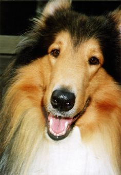 A beautiful face, and an even more beautiful expression that only the Rough Collie possesses.