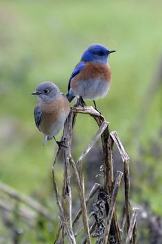 Bluebirds - female and male species...