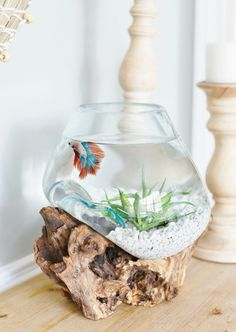 Betta need gallons, a place to hide, temperatures of degrees Fahrenheit, and a filter. Coastal Kitchen Dining Area Summer Updates - Sand and Sisal Jaq Macy jaqmacy Improper Animal Husbandry Betta need 2 Betta Aquarium, Betta Fish Tank, Betta Fish Bowl, Coastal Style, Coastal Living, Coastal Decor, Seaside Decor, Fisher, Terrarium Reptile