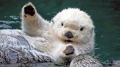 Albino Otter.