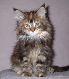 tortie maine coon rockoon kitten