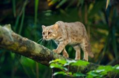 American Bobtail Cat Breeds - American Curl - Ideas of American Curl - Rusty-Spotted Cat The post American Bobtail Cat Breeds appeared first on Cat Gig. American Wirehair, American Bobtail Cat, Ocicat, American Curl, Curl Americano, Gato Bobtail, Burmilla Cat, Kitty Cats, Japanese Bobtail