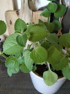 PASTU domov: Mast z rýmovníku Kraut, Herbalism, Succulents, Homemade, Health, Garden, Plants, Fimo, Herbal Medicine