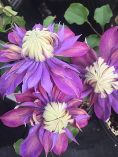 25 Double Blue Purple Clematis Seeds Bloom Climbing Perennial Garden Flower - All About Climbing Clematis, Clematis Trellis, Purple Clematis, Clematis Flower, Climbing Roses, Exotic Flowers, Purple Flowers, Beautiful Flowers, Rare Flowers