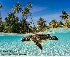 @Regrann_App from @unlimitedtahiti -  Tahitian   Magical picture by @rcapozzola  Tag your best photos of #frenchpolynesia with #unlimitedtahiti  #polynesia #polynesie #tahiti #tahitianvibes #tahitilife #tahitibeach #tahititourisme #paradise #paradiseisland #moorea #borabora #turquoise #paradisebeach #oceania #pacific #pacificislands #paradiseisland #ig_oceania #pacificocean #loves_oceania  #paradiselost #paradiselove #beachlife #beachlove #beachlovers #beachporn