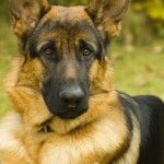 cute german shepherd #dogs #animals