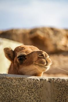 Animals in Oman (with photos) - Wildlife and farm: turtles, camels, goats. Oman Travel, Africa Travel, Farm Animals, Funny Animals, Desert Nomad, Sultanate Of Oman, Beautiful Arabic Words, The Beautiful Country, Egypt
