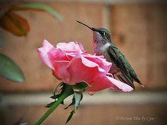 Hummingbird on a little rose .