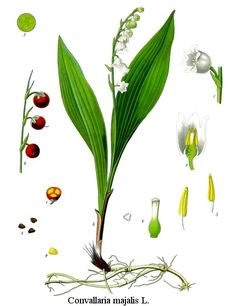You may not think of these types of lilies as house plants, but Lily of the Valley flowers grow well in a pot.