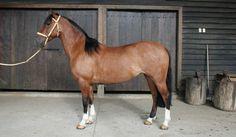 Arabian Horses, Pretty Horses, Horse Breeds, Donkeys, Rodeo, South America, Vibrant Colors, Seal, Creatures