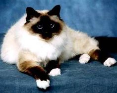 """Birman Cat, only breed with white gloved paws.  Not so, Snow-Shoe Siamese also have 4 white paws.  Hence """"snow-shoe""""."""