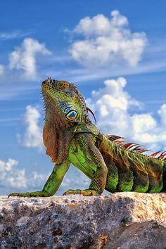 Dragon of Key West, Florida.