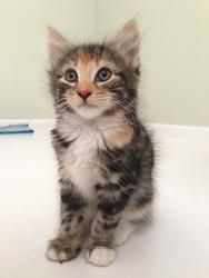 9/27/13: Beatrice is an adoptable Maine Coon Cat in Wayne, PA. Beatrice is a beautiful fluffy baby girl. She has the sweetest nature and loves nothing more than a good snuggle – give her cuddles or a head scra...