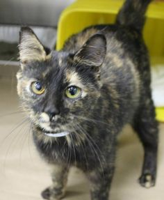 ADOPTED>Available: 1/10 NAME: Venus  ANIMAL ID: 24704842 BREED: DSH  SEX: Female  EST. AGE: 3 yrs  Est Weight: 4.5 lbs Health:  Temperament: friendly ADDITIONAL INFO:  RESCUE PULL FEE: $39