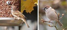 Fugler på fuglebrettt - oversikt med navn, størrelse og lenker. På bildet: Pilfink
