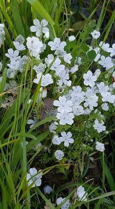 Nemophila menziesii Baby blue eyes Sonoma Valley Park 2018