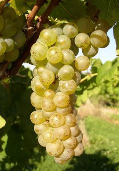 Cayuga White- #12 also in our NH vineyard