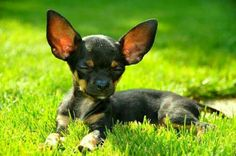Sunbathing. Those ears and the sun shining through them.