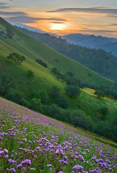 Lavender wildflowers, sunrise in the Southern Sierra Nevada east of Bakersfield CA