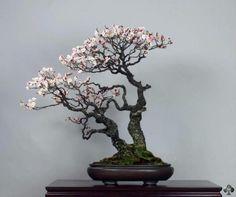 Árvore de bonsai de Prunus Mume