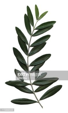 New Olive Tree Tattoo Small Botanical Illustration 54 Ideas Olive Tree Tattoos, Olive Branch Tattoo, Leaf Tattoos, Tree Illustration, Botanical Illustration, Illustrations, Tree Leaves, Plant Leaves, Corporate Holiday Cards