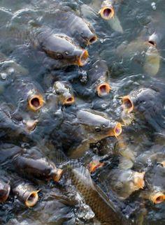 Feeding Carp