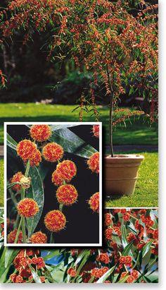 1000 images about garden trees on pinterest pistachio for Chris cognata
