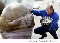 A Walrus's reaction after being presented with a fish cake for his birthday | Amazingly Timed Photos