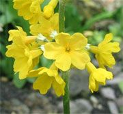 Primula helodoxa (Primula helodoxa) Get care advice to your inbox every month - add this plant to your personal list.