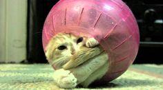 A kitten gets stuck in a hamster ball, cuteness follow
