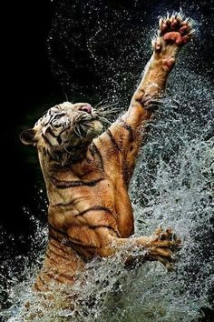 Amazing shot of a tiger leaping up out of water.