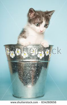 Cute baby cat in basket for flowers on blue background #shutterstock #photography #microstock #cat