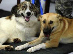 A heroic former stray from Afghanistan, Target, above right, was mistakenly euthanized at an Arizona shelter. Target and Rufus, above left, saved dozens of soldiers from a suicide bomb in February.