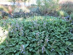 Berggarten Sage - the best culinary sage - mass planted with some modest blooms in spring. Salvia Officinalis, Hearth And Home, Fresh Herbs, Evergreen, Garden Plants, Perennials, Sage, Bloom, Joy Division