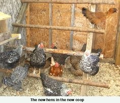 I love the idea of using natural branches for the chickens to roost on.