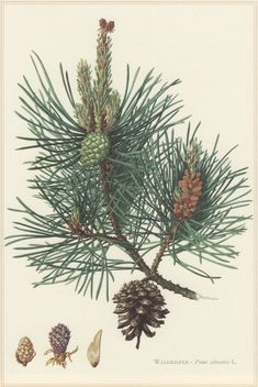 1960 Vintage Botanical Print Scots pine Pinus by Craftissimo