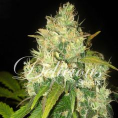 The Black Russian strain has potent medicinal effects resulting from crossing a White Russian with a spectacular Black Domina mother which enhances