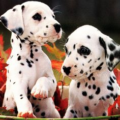 Dalmatians!