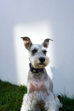 """Excellent """"yorky pups"""" info is readily available on our internet site. Take a look and you wont be sorry you did. Schnauzers, Miniature Schnauzer Puppies, Schnauzer Puppy, I Love Dogs, Cute Dogs, Miniature Schnauzer Black, Husky Pet, Dog Day Afternoon, Yorky"""