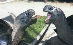"""Female Bibi started attacking mate Poldi and even bit off a part of his shell"" Bibi and Poldi, both giant #Galapagos #tortoises aged 115, have, after 115 years, decided that they now hate each other and have to be separated by zoo staff in Austria!"